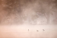 Goldeneye drake and two ducks(Clangula bucephala) on woodland loch at dawn on misty morning, Scotland.