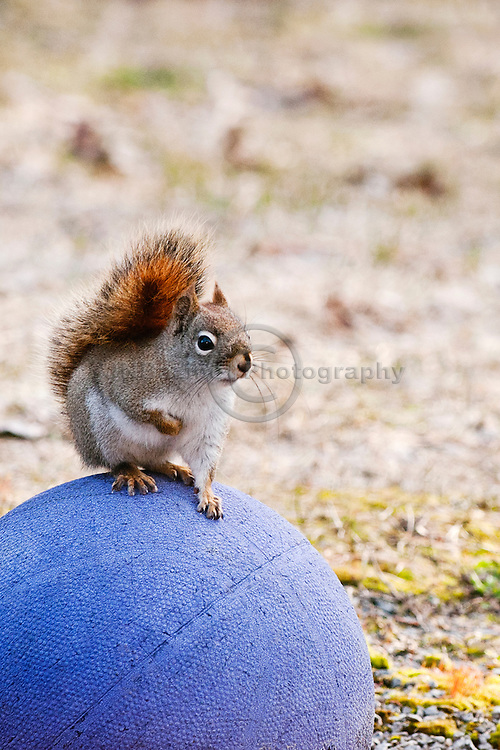 An American Red Squirrel stands atop of basketball to examine her surroundings.