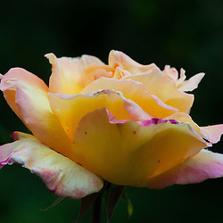 Pink Rose, Seattle, Washington, US