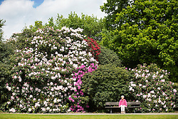 © Licensed to London News Pictures. 17/05/2016. Leeds UK. A lady sits amongst the Rhododendron's in Temple Newsam park in Leeds as Yorkshire see's another fine weather day. Photo credit: Andrew McCaren/LNP