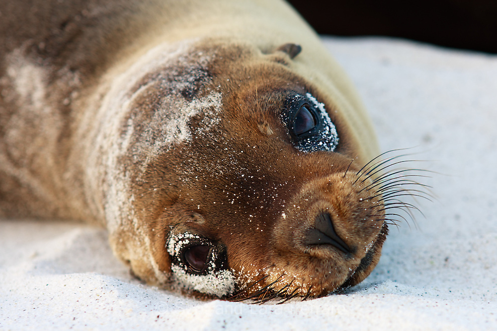 This sleepy Sea Lion pup was sunning himself on the beach next to mom.  Galapagos wildlife has not learned to fear humans so wildlife can be approached much closer than in areas where there has been more human contact.