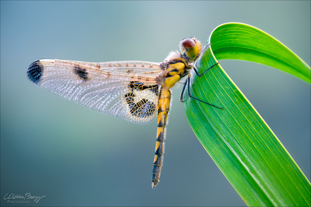 A Newly emerged Calico Pennant Dragonfly on a cattail with a jewel-tone background