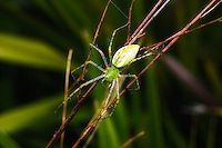 Green Lynx Spider photographed in Venice, Florida. This little critter was very photogenic and didn't seem to mind having about 60 shots taken to get this one right!