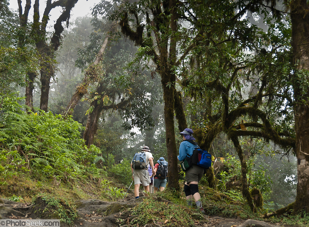 Trekkers walk along a misty cloud forest trail beneath lichen and moss covered trees near Dhampus in the Annapurna Range of Nepal. .Published in 2009 on Swedish trekking company site www.adventurelovers.se.