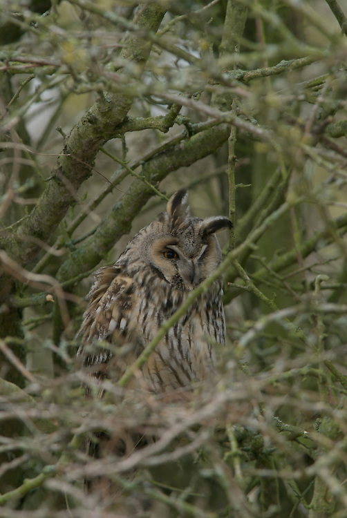 Long Eared Owl Asleep in the sun