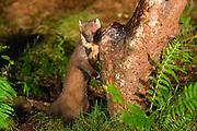 PIne marten leaning against a log near a feeding station on the AIgas Estate.