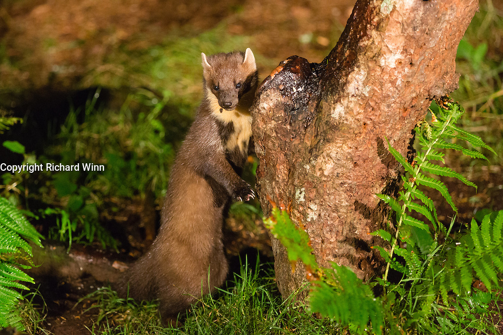 PIne marten leaning against a log near a feeding station on the AIgas Estate.