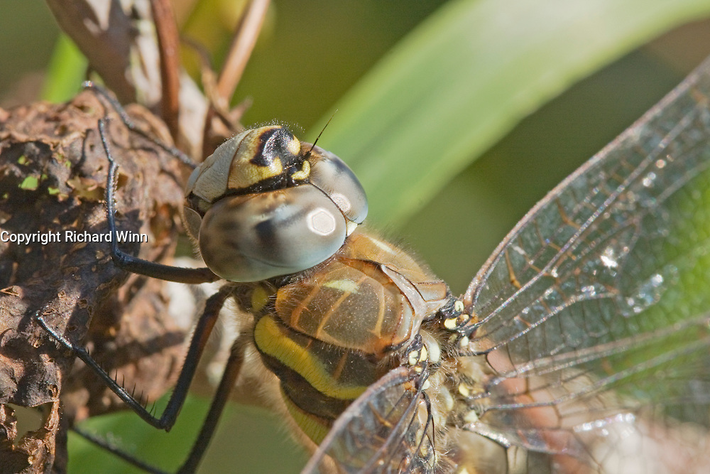 Closeup view of the head, thorax and legs of a female Migrant Hawker (Aeshna mixta) resting on vegetation.