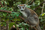Crowned Lemur (Eulemur coronatus) female with baby. Ankarana Special Reserve. Northern MADAGASCAR.<br /> They are sexually dichromatic and other than the black lemur this is the most obviously sexually dichromatic lemur species and is also the smallest member of the genus. They are medium sized lemurs that adopt horizontal body postures. Length 750-850mm and weight 2,5-1,8kg. They are usually diurnal but can be active during the night. They live in groups of 5 to 15 individuals that contain several adult males and females and offspring.  The females tend to be dominant. Their home ranges are small and overlap with other groups. Although foraging occurs at all levels of the forest from the ground up to the canopy they appear to prefer the lower levels and understory. This probably reduces competition between the Sanford's brown lemur that usually occures in the same areas and feed in the upper levels. During dry and wet seasons fruit makes up their main diet. In the dry season flowers and young leaves are also taken.<br /> They are predatored upon by fossa, crocodiles and large raptors.<br /> DISTRIBUTION: Restricted to the northern tip of Madagascar including the National park of Montagne d'Ambre, Ankarana Special Reserve, Analamera Special Reserve and Daraina Protected area.<br /> ENDEMIC TO MADAGASCAR.<br /> THREATS: Direct distruction of their habitat for agriculture and logging. They are hunted too.
