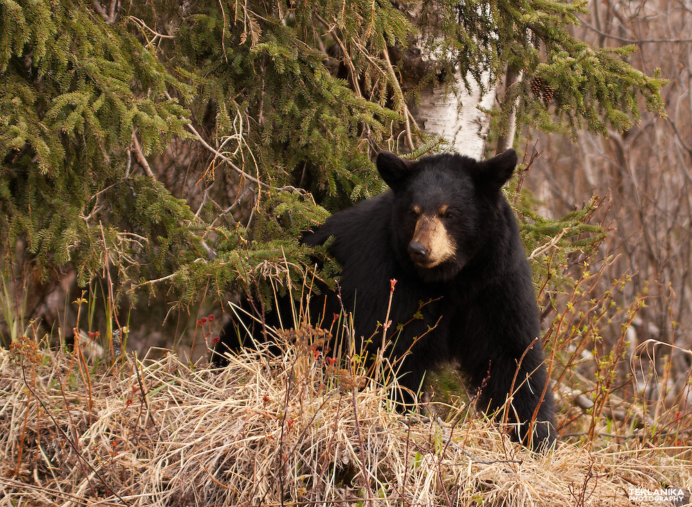 A black bear in Chugach State Park near Anchorage, Alaska.