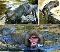 Het prachtige zomerweer leidt er toe dat ook de dieren in Artis  het warm hebben. Deze Japanse Makaak , van het meest Noordelijk voorkomende apensoort, kent geen watervrees bij deze temperaturen.