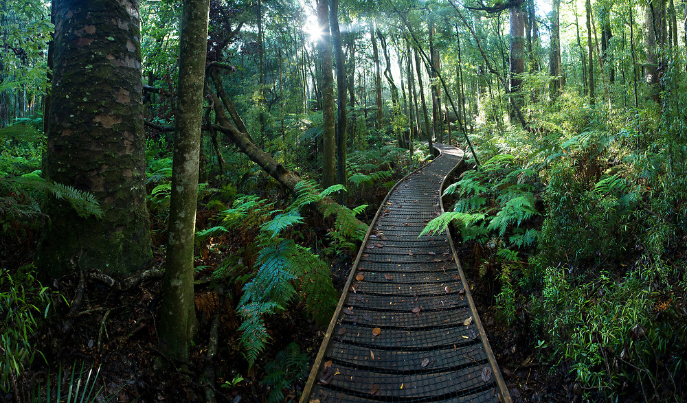 Boardwalk through Trounson Kauri Park, Northland, New Zealand