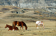 Horses in Alberta's Badlands