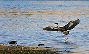 Heron landing at sunset, with toes dragging across the water