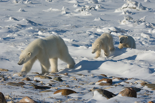 Polar Bear (Ursus maritimus) mother and cubs, Hudson Bay, Manitoba