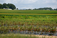 Tomatoes on the vines at Mountain Horticultural Research and Extension Center in Henderson County.