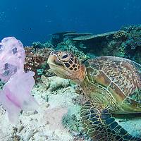 Green Turtle, Chelonia mydas. Turtles often mistake plastic bags for jellyfish, their normal food. Sipadan island, Borneo, Malaysia.