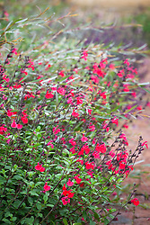 Salvia 'Jezebel' with Salix purpurea 'Nancy Saunders' AGM (Purple Osier Willow)