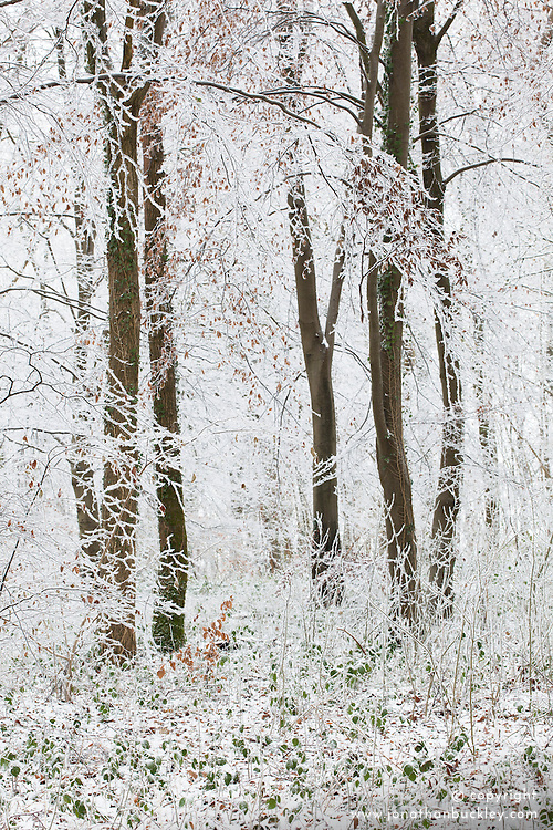 Hoar frost on trees in woodland near Birdlip on a snowy winter's morning
