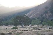 Malibu Tree at Sunset