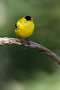 American Goldfinch, Bass Harbor, Maine