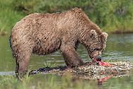 A brown bear (Ursus arctos) with a freshly caught sockeye salmon - Katmai, Alaska A brown bear (Ursus arctos) feasts on a sockeye salmon (Oncorhynchus nerka) - Katmai, Alaska