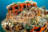 Couple of scorpionfish (Scorpaena porcus) lying on the artificial reef, Larvotto Marine Reserve, Monaco, Mediterranean Sea<br /> Mission: Larvotto marine Reserve