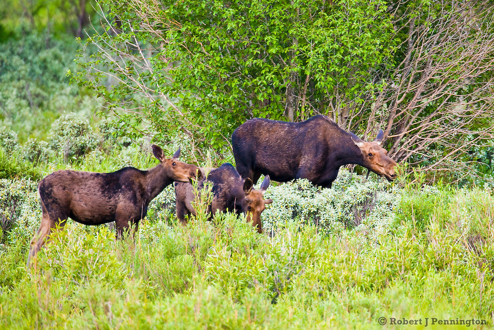 A moose cow grazes with her twin calves along the Gros Ventre River in the Grand Tetons National Park, Wyoming