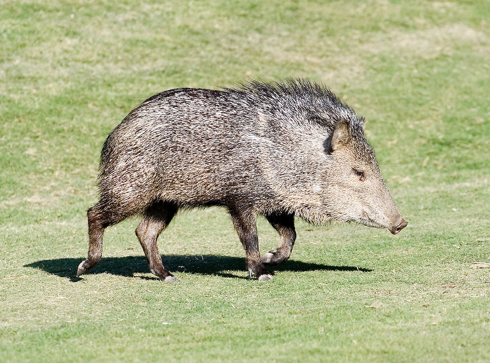A Javelina walks across a fairway at Rancho Manana in Cave Creek, AZ