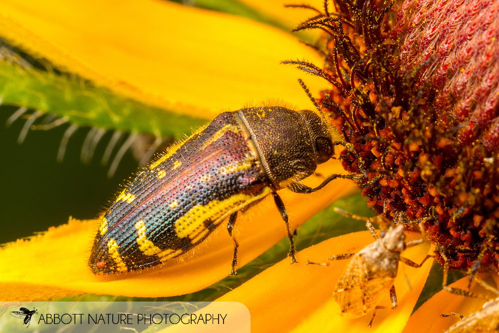 Metallic Wood-boring Beetle (Acmaeodera pulchella)<br /> United States: Alabama: Tuscaloosa Co.<br /> Tulip Tree Springs off Echola Rd.; Elrod<br /> 2-Jun-2017<br /> J.C. Abbott #2956