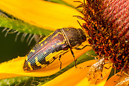 Metallic Wood-boring Beetle (Acmaeodera pulchella)<br /> United States: Alabama: Tuscaloosa Co.<br /> Tulip Tree Springs off Echola Rd.; Elrod<br /> 2-Jun-2017<br /> J.C. Abbott #2956