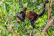 Mantled Howler Monkey (Alouatta palliata) climbing down through the tree looking for food