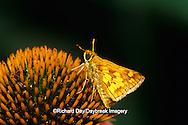 03716-00118 Peck's Skipper butterfly (Polites peckius) on Purple Coneflower (Echinacea purpurea) Marion Co. IL