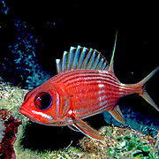 Caribbean Squirrelfish