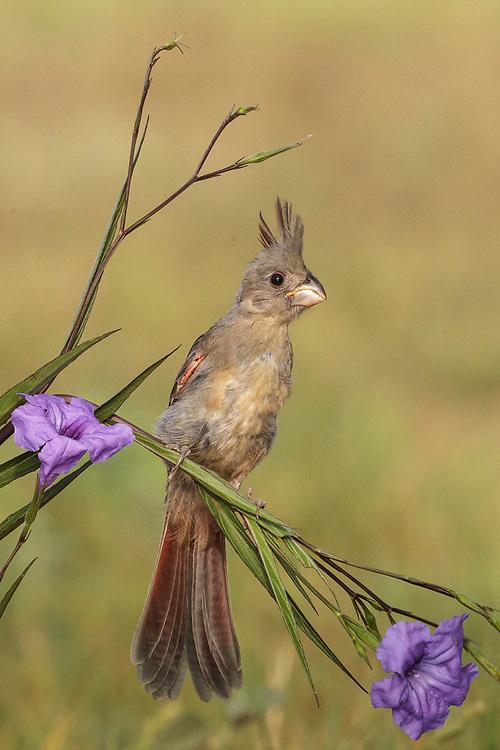 Cardinalis sinuatus, young