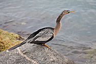 An adult female anhinga on the jetty in Venice, Florida.