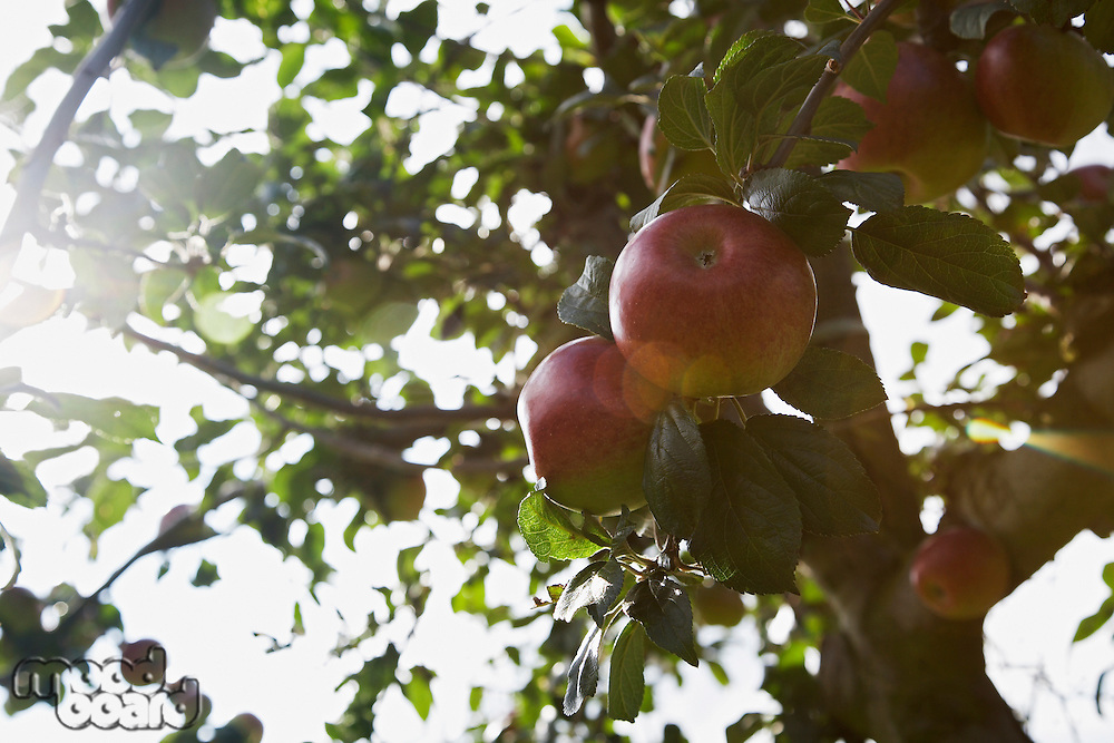 Apples on tree close-up lens flare