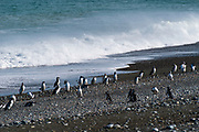 View of Magellanic Penguin (Spheniscus magellanicus) at Reserva Cabo Virgenes (Pinguinos), near Rio Gallegos, Santa Cruz Region, Argentina