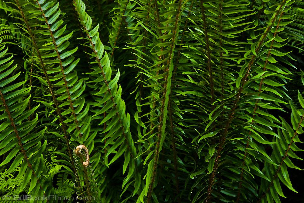 Western Sword Fern, (Polystichum munitum) Kitsap Peninsula, Puget Sound, Washington state, USA