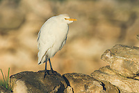 Cattle Egret, De Hoop Nature Reserve, Western Cape, South Africa