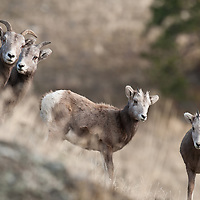 young sheep, young bighorn sheep wild rocky mountain big horn sheep