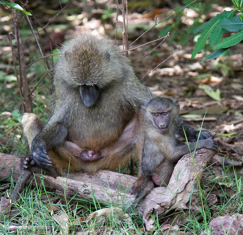 Baboon with baby - Tumbili