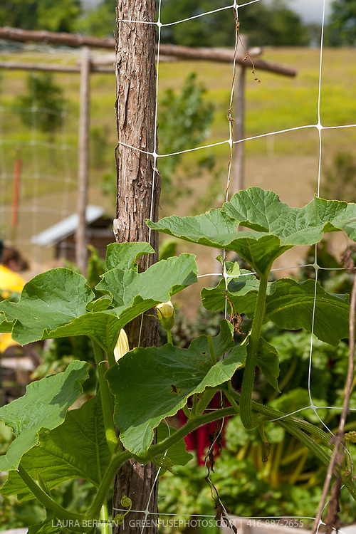 Tree prunings used to support squash and beans in the vegetable garden.