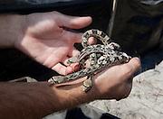 Pine Snake; Pituophis melanoleucus; neonate;  NJ, Pine Barrens