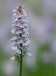 Gevlekte orchis; Heath Spotted Orchid