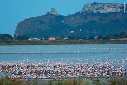 Fenicotteri rosa Fenicottero Rosa della Sardegna Foto di uccelli, fauna , natura Foto natura, oasi natualistica di molentargius