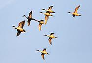 Northern Pintail ducks at the Delta Marsh, early Thursday, April 12, 2012. (TREVOR HAGAN)