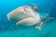 A tiger shark, Galeocerdo cuvier, swims offshore Jupiter, Florida, United States Image available as a premium quality aluminum print ready to hang.