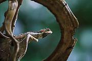 Forest Crested Lizard (Calotes emma emma), male in breeding colouration. Kaeng Krachan National Park. Thailand.