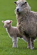 Lamb and Momma Sheep, Southland, New Zealand